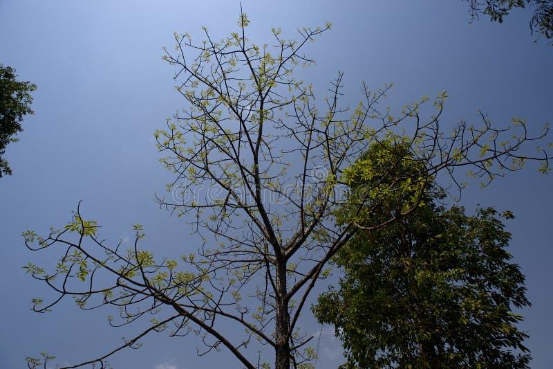 Le vert pousse des feuilles arbre de soie-coton près du secteur de Sangamner Ahmednagar, maharashtra images stock