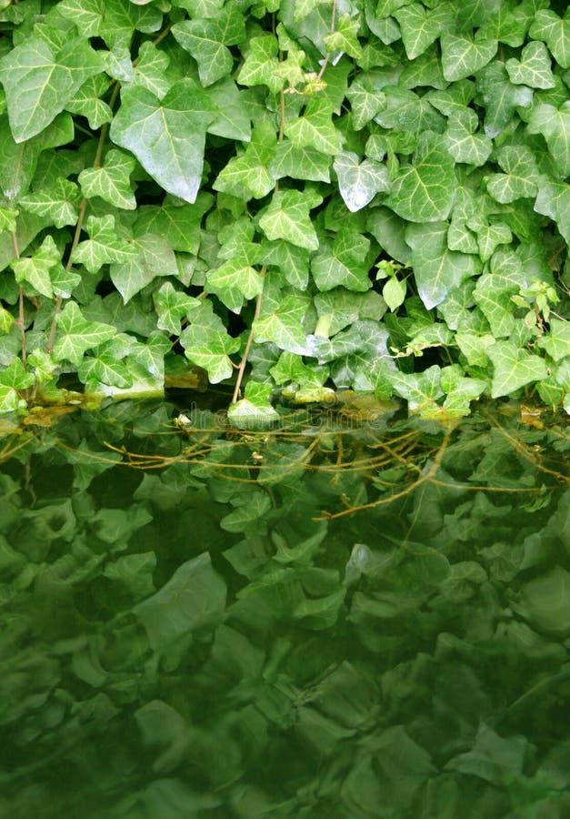Le vert pousse des feuilles réflexion image libre de droits