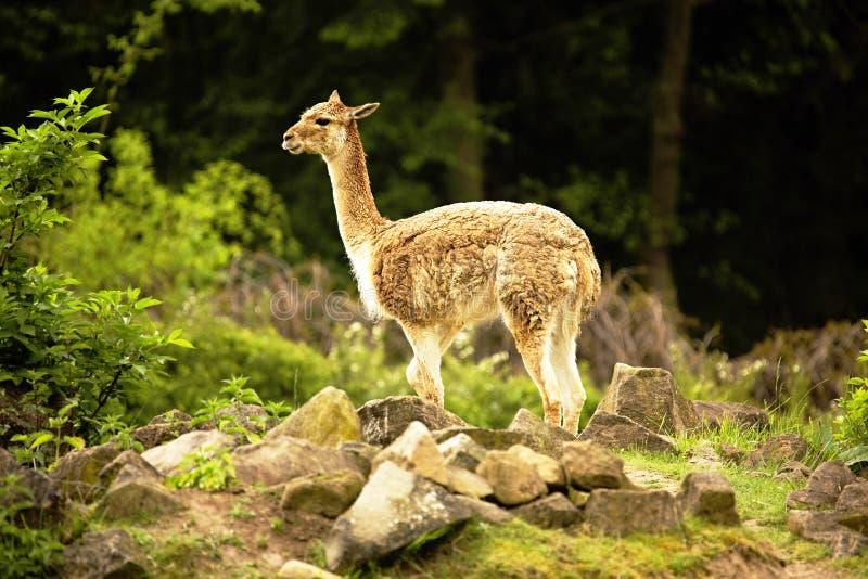 Le Vicugna, vicugna de lama est un lama sauvage images libres de droits