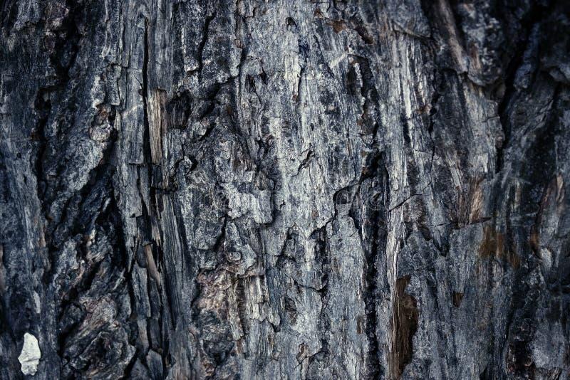Le vieil abrasif a coloré l'écorce du pin, texture en bois de forêt Hiver, automne, été ou printemps, photos stock