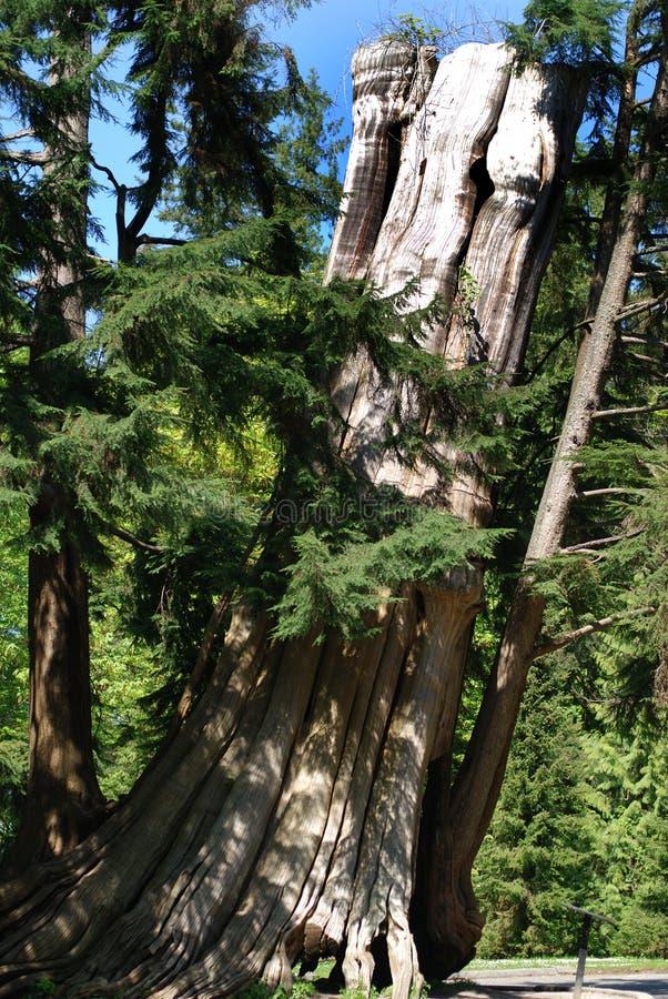 Le vieil arbre image libre de droits