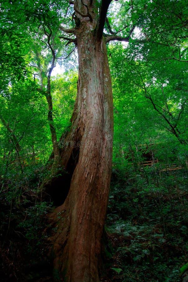 Le vieil arbre photos stock