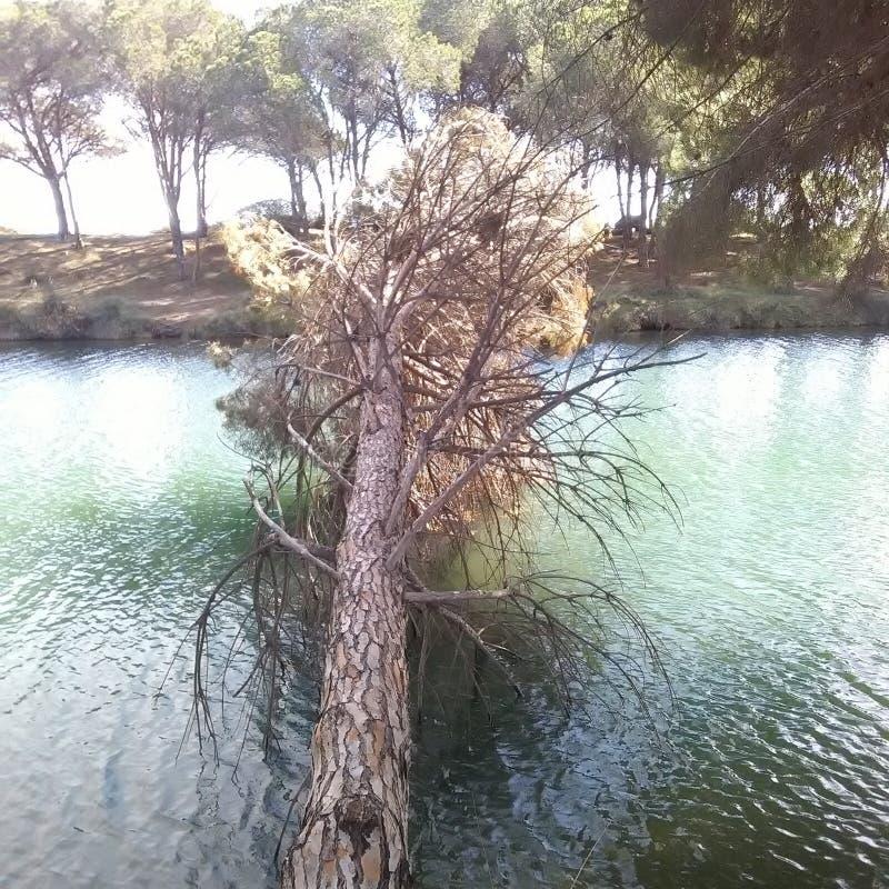 Le vieil arbre de pin photographie stock libre de droits
