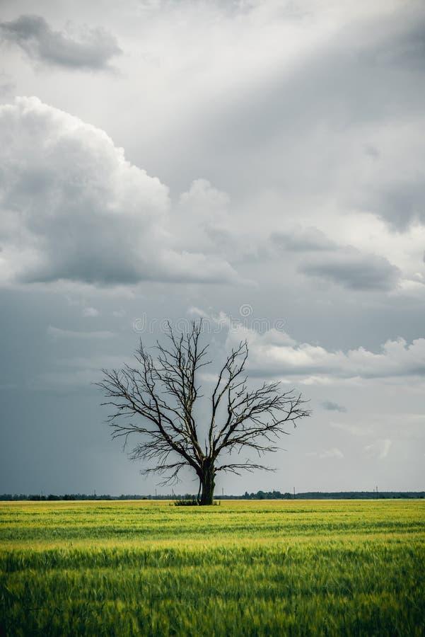 Le vieil arbre isolé mort en vert met en place devant les nuages pluvieux images stock