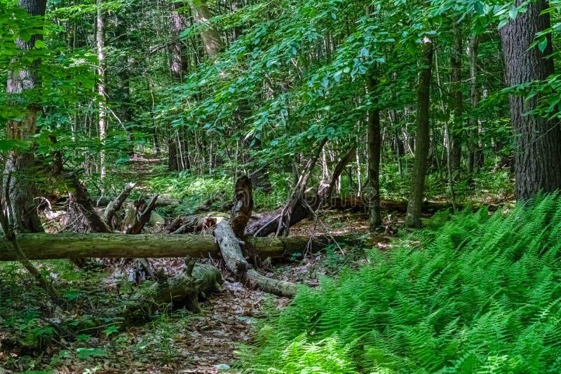 Le vieil arbre mort se situe dans la forêt sauvage entre la rivière de Neversink, tributaire du fleuve Delaware et péage de Guyma photographie stock