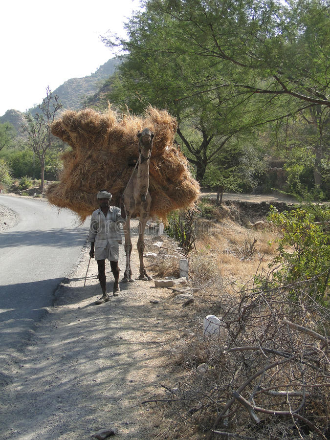 Le vieil homme mène son fourrage de transport de chameau image libre de droits