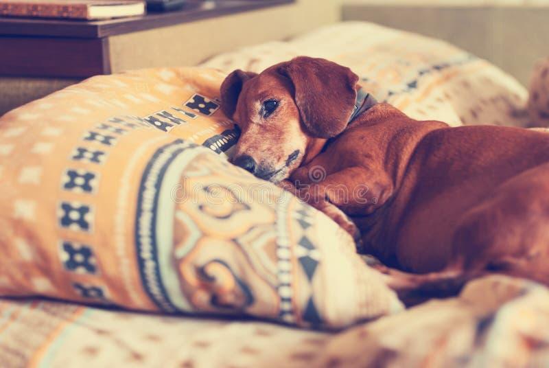 Le vieux chien brun, le teckel détend confortablement sur l'oreiller photographie stock libre de droits