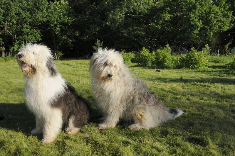 Le vieux chien de berger anglais et le chien de berger russe du sud photographie stock libre de droits