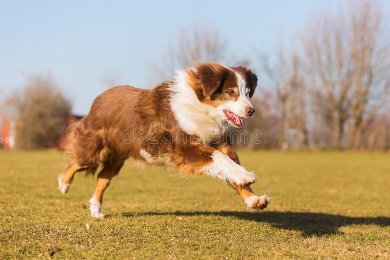 Le vieux chien de berger australien fonctionne sur le pré photographie stock