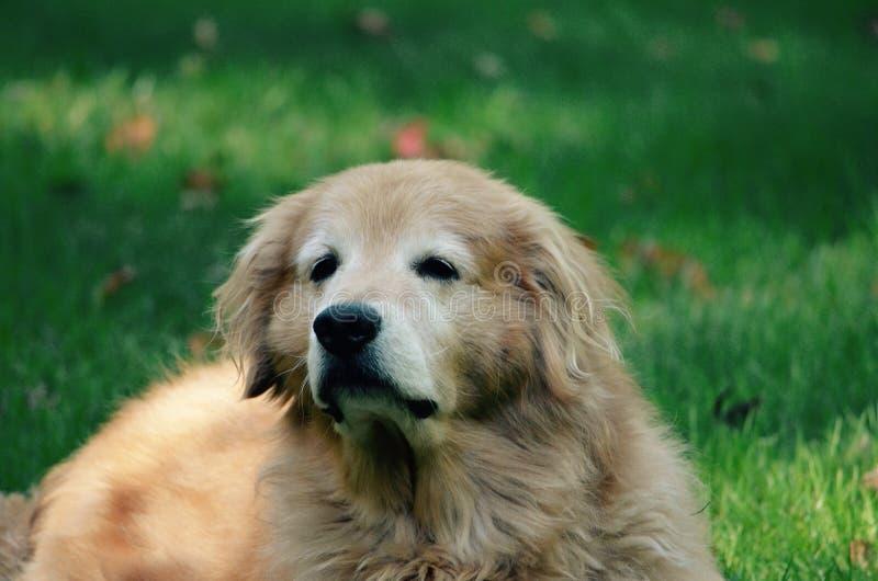 Le vieux chien de penseur profond est futé photo stock