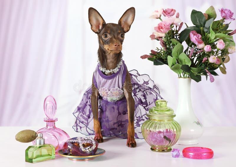 Le vieux chiot de quatre mois de Terrier de jouet s'est habillé dans une robe photos stock