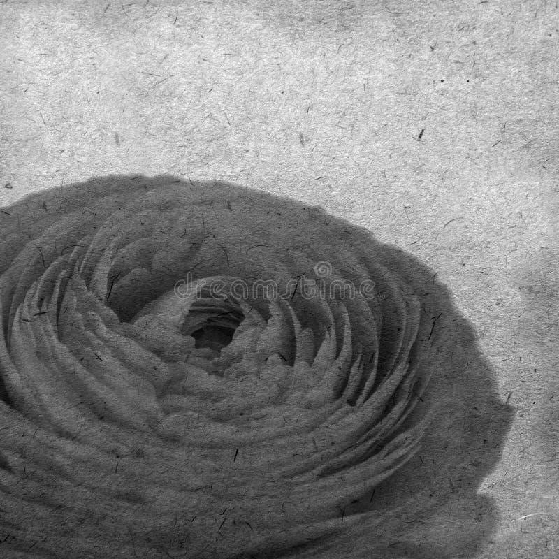 Le vieux fond de papier texturisé avec le ranunculus orange pâle, renoncule persane image libre de droits