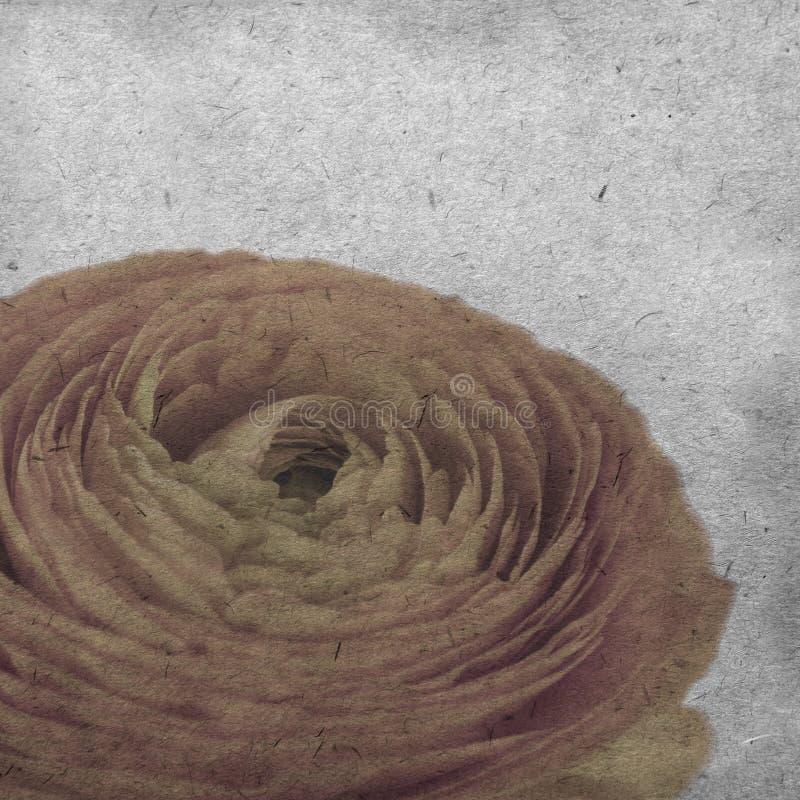 Le vieux fond de papier texturisé avec le ranunculus orange pâle, renoncule persane photos stock