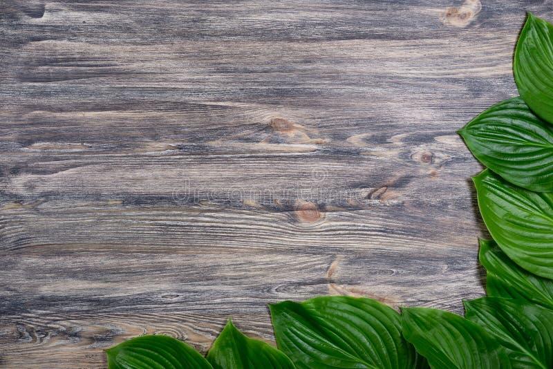 Le vieux fond en bois foncé avec de belles feuilles fraîches de hosta a arrangé dans un coin Maquette de vintage Conception de fr photo stock