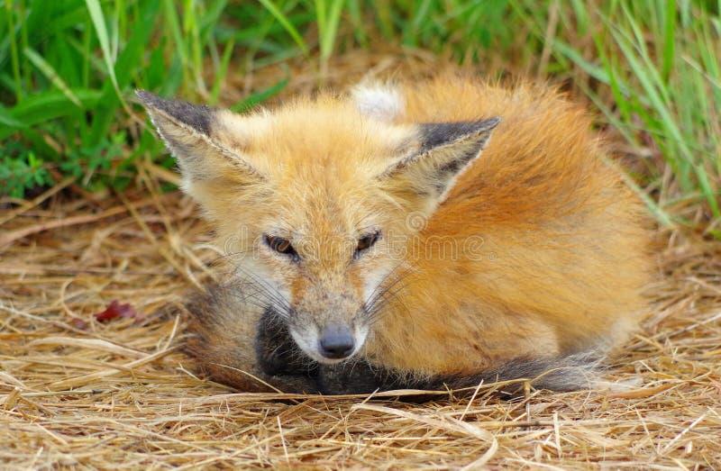 Le vieux Fox rouge sage images stock