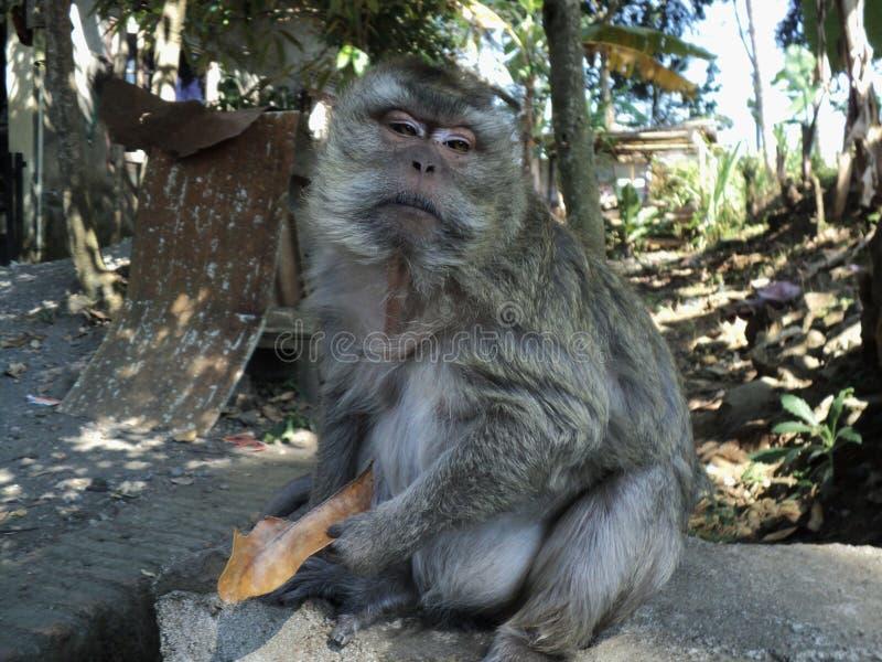 le vieux singe est se reposer décontracté sous un arbre photographie stock