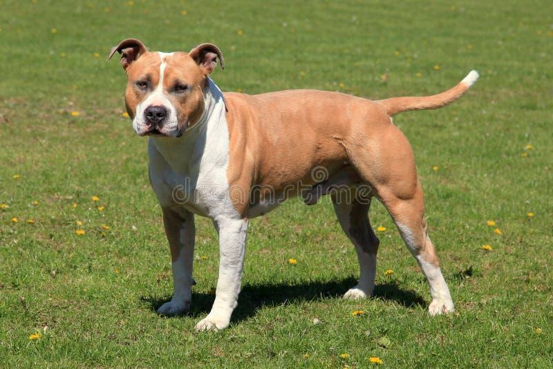 Le vieux Staffordshire Terrier américain photographie stock libre de droits