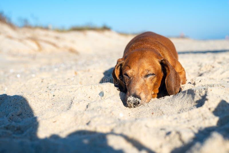Le vieux teckel dort sur la plage photographie stock libre de droits