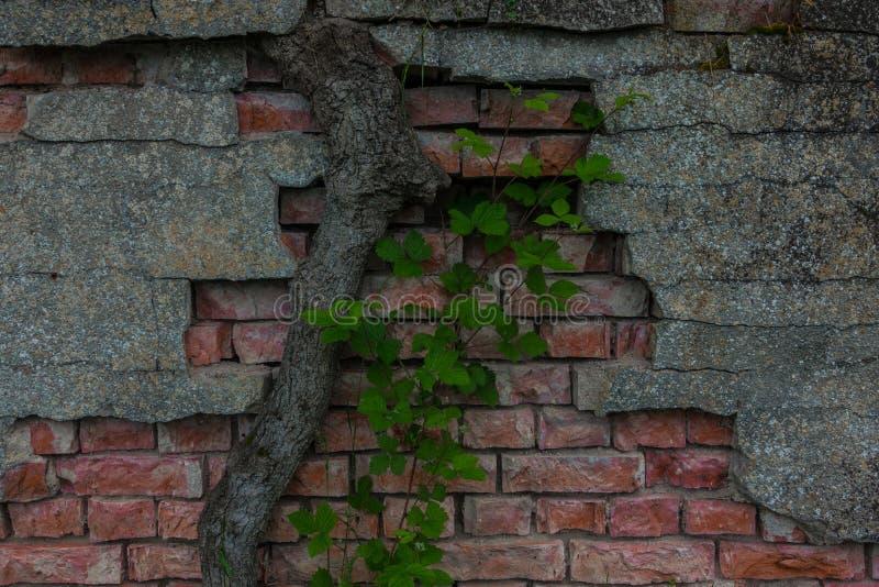 Le vieux tronc de mur de briques et d'arbre images stock