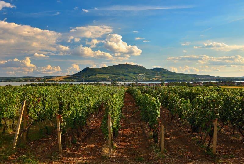 Le vigne al tramonto in autunno raccolgono l'uva matura Regione del vino, Moravia meridionale - repubblica Ceca Vigna sotto Palav fotografia stock libera da diritti