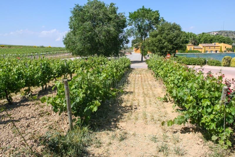 Le vigne della cantina Torros fotografie stock libere da diritti