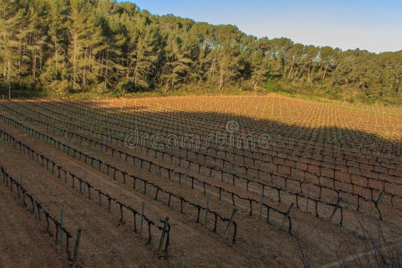Le vigne: la base principale ed essenziale di vino fotografia stock