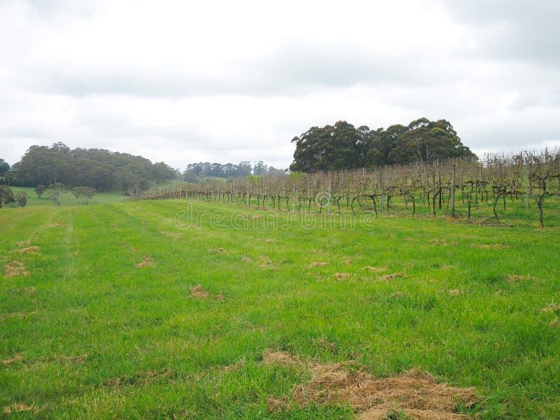 Le vignoble est une plantation des vignes de raisin-incidence, développée principalement pour la vinification dans la ville de Bo images libres de droits