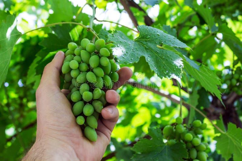 Le vignoble fonctionne avec la qualité des raisins dans le vignoble Le winemaker vérifie la récolte des raisins après la pluie images libres de droits