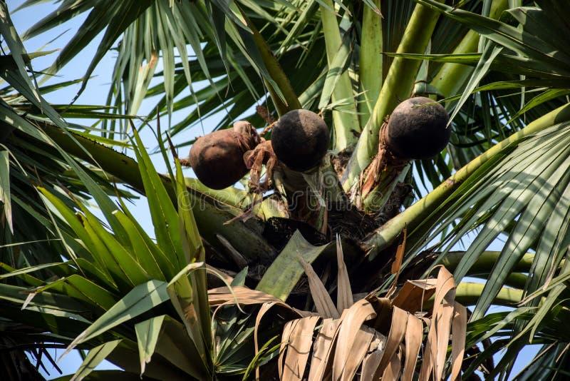 Le vin de palme sortent du palmier dans le pot d'argile au matin image stock