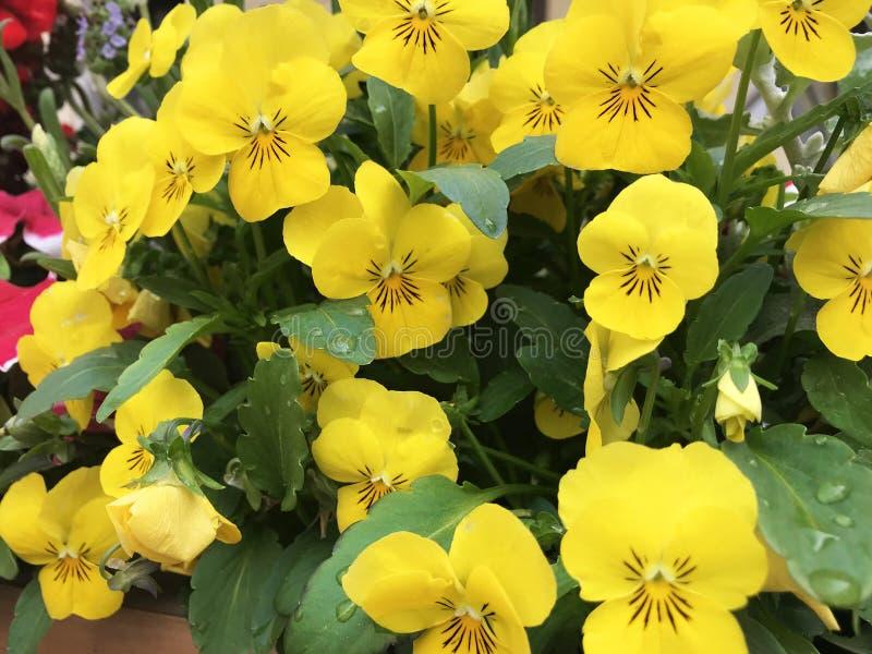 Le viole del pensiero gialle acqua i fiori immagini stock