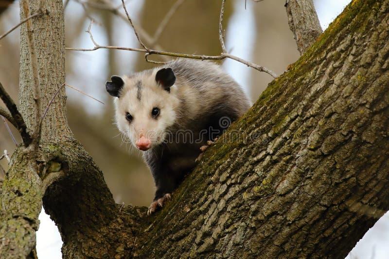 Le virginiana de Virginia Opossum Didelphis sur l'arbre images stock