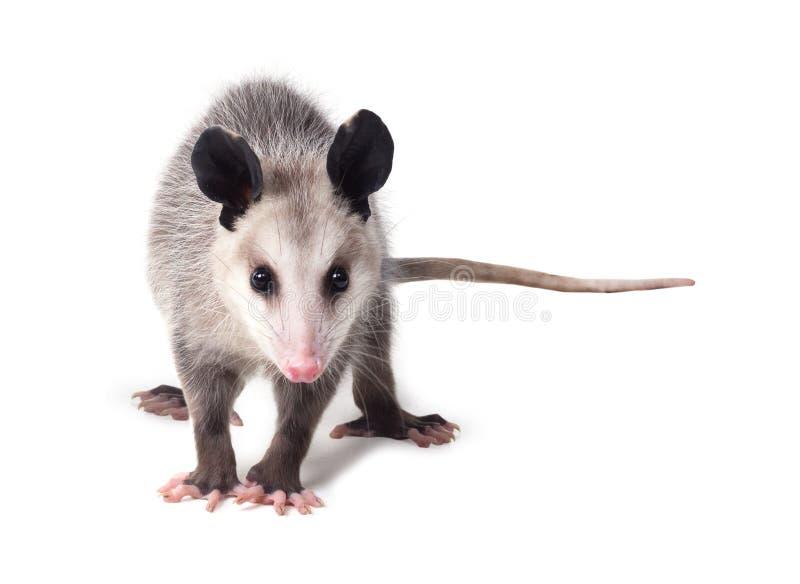 Le virginiana didelphe de jeune opossum de Virginian se tient sur un blanc image stock