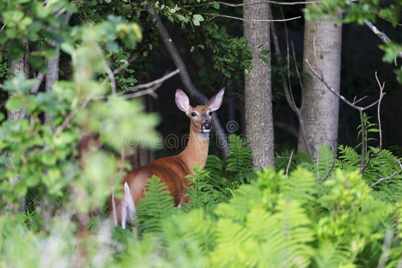 Le virginianus blanc-coup? la queue d'Odocoileus de cerfs communs image libre de droits