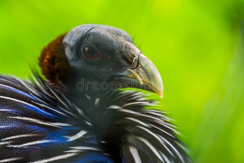 Le visage d'un guineafowl vulturin en plan rapproché, faisan tropical coloré d'Afrique photos stock