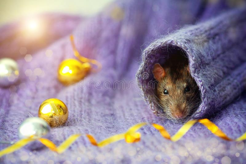 Le visage d'un rat brun regarde vers le haut la manche d'un pull tricoté, avec le Nouvel An doré, des balles couchées à côté image libre de droits