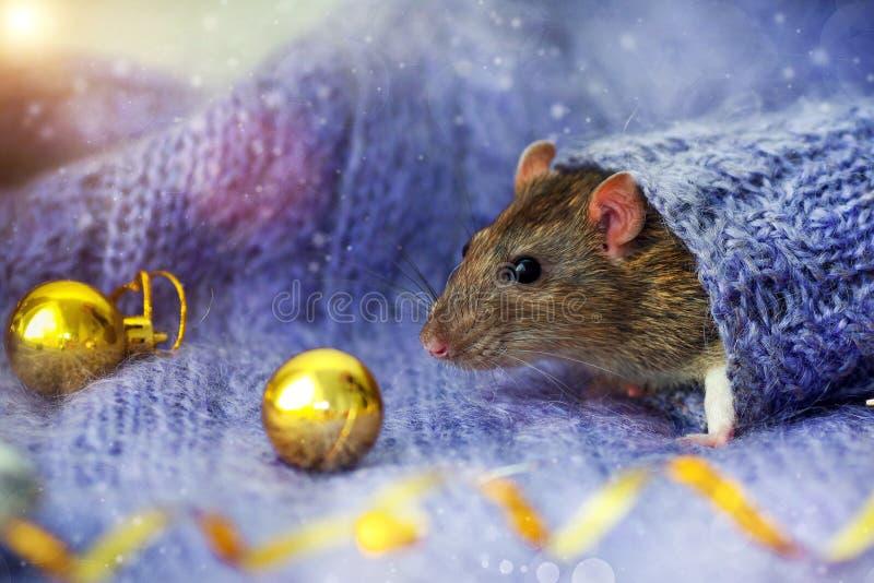 Le visage d'un rat brun regarde vers le haut la manche d'un pull tricoté, avec le Nouvel An doré, des balles couchées à côté photos libres de droits