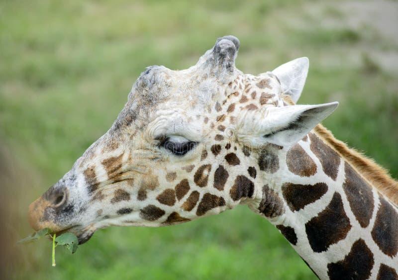 Le visage de la girafe d'isolement image stock