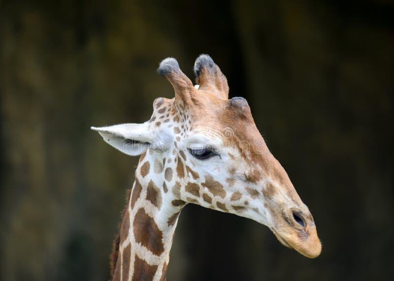 Le visage de la girafe d'isolement photo stock