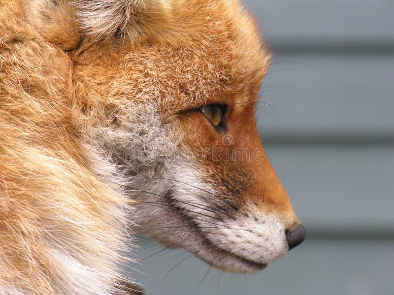 Le visage du Fox images libres de droits