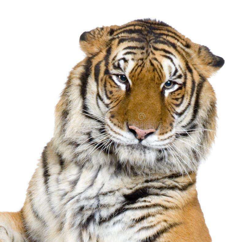 Le visage du tigre photographie stock libre de droits