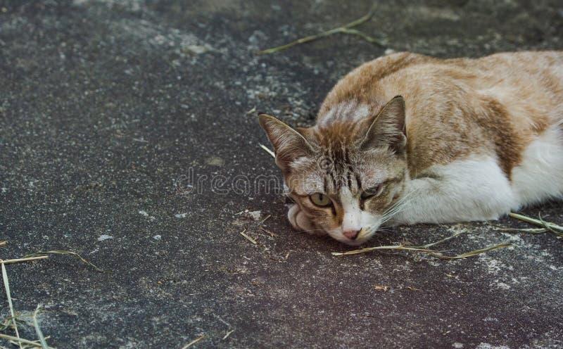 Le visage gris domestique de chat se trouve sur le plancher en béton regardant la caméra photos libres de droits
