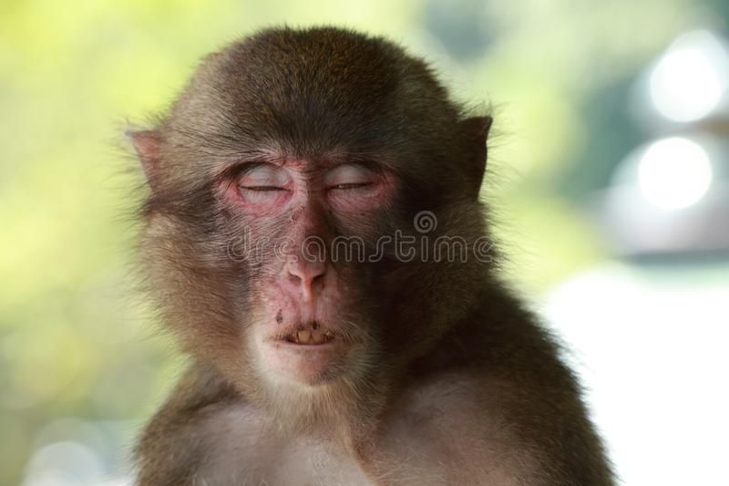 Le visage sauvage du ` s de singe, singe sauvage d'A a recueilli à l'endroit de alimentation du zoo naturel de Takasakiyama images libres de droits