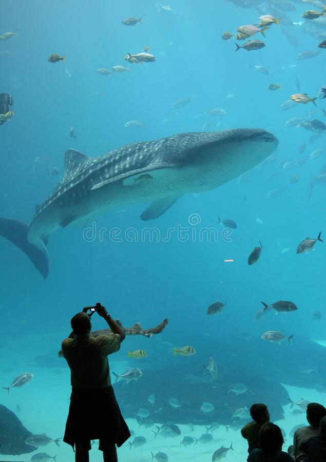 Le visiteur à Georgia Aquarium photographie un requin de baleine photos stock
