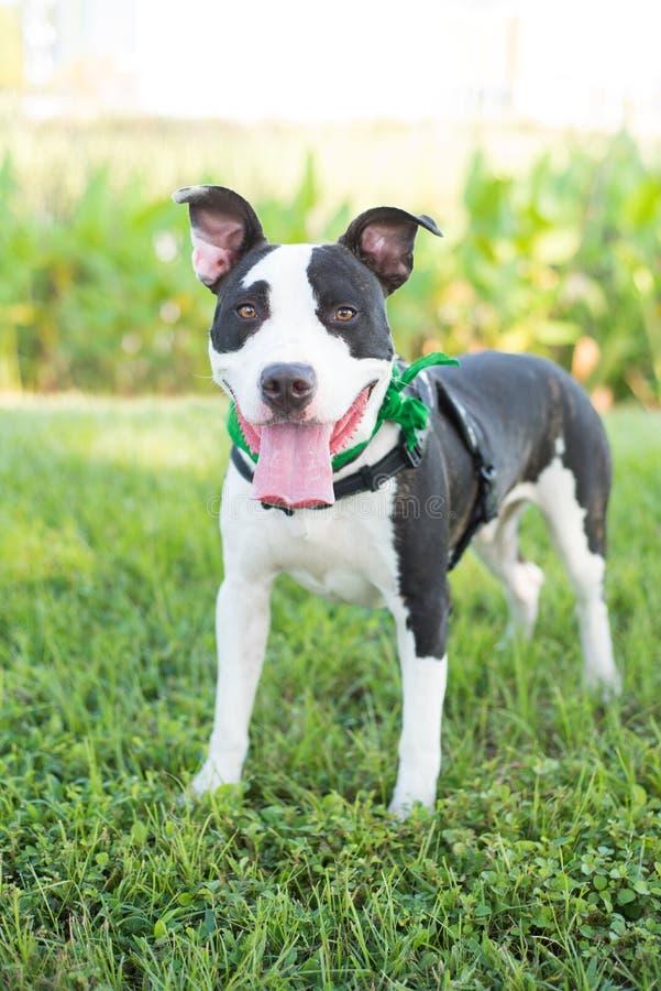Le vit amerikanPitBull terriern för den brunt och royaltyfria foton