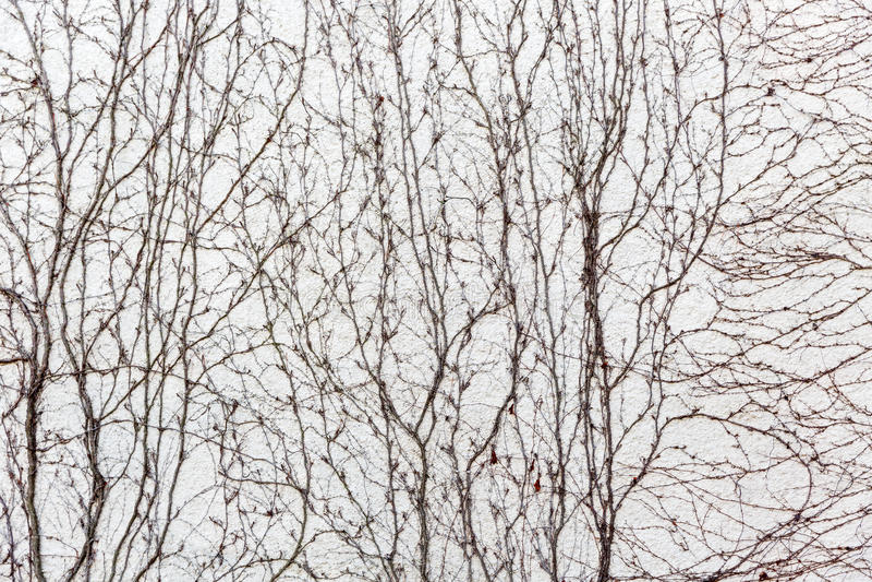 Le viti asciutte coprono la parete fotografia stock