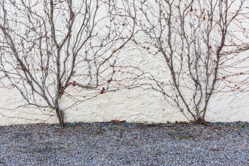 Le viti asciutte coprono la parete immagine stock libera da diritti