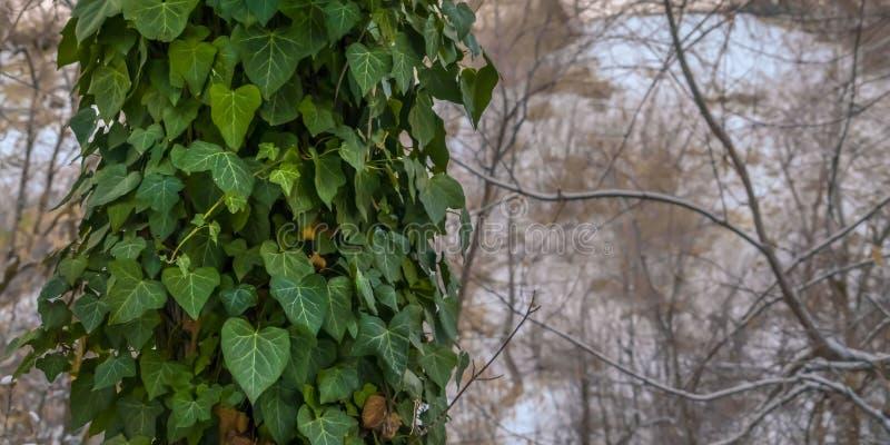 Le viti di verde dell'ubriacone di panorama con cuore hanno modellato le foglie che coprono il tronco di un albero forestale fotografia stock libera da diritti
