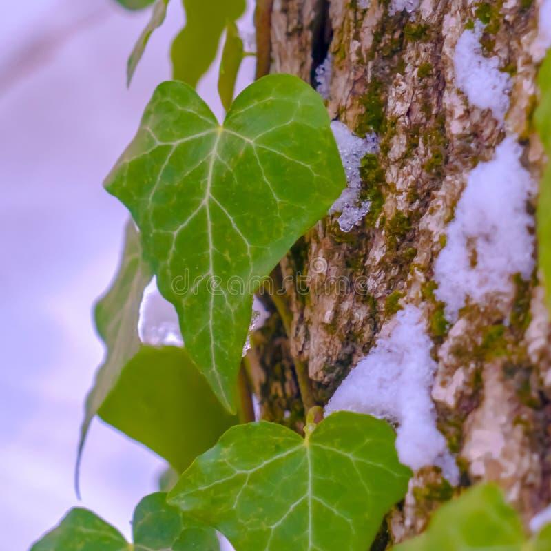 Le viti quadrate con cuore hanno modellato le foglie che crescono su un albero con neve nell'inverno immagine stock libera da diritti