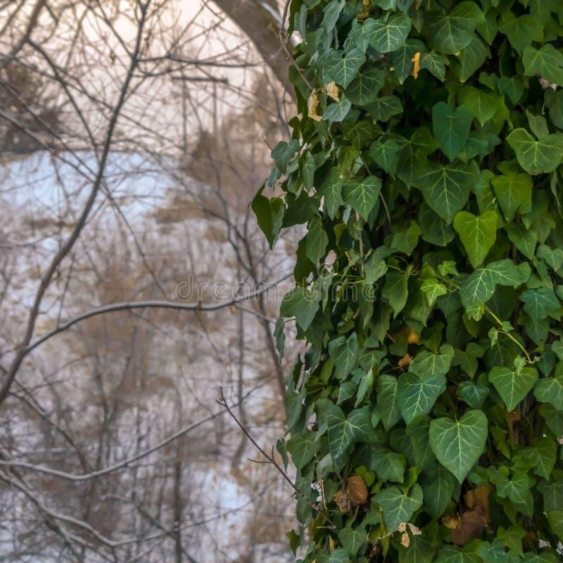 Le viti verdi fertili del quadrato con cuore hanno modellato le foglie che coprono il tronco di un albero forestale fotografia stock libera da diritti