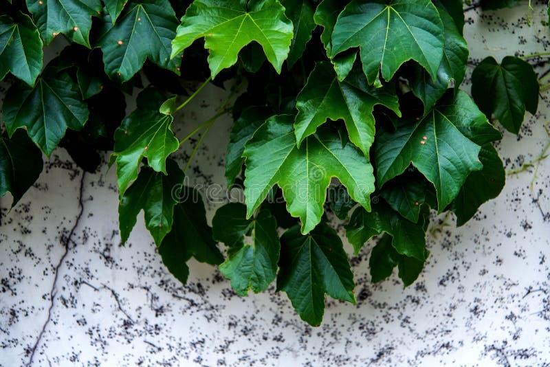 Le viti verdi si sono sviluppate a spirale contro la parete bianca immagine stock